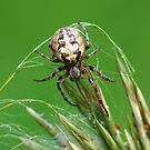 Orb Weaver by Bill Morgenstern
