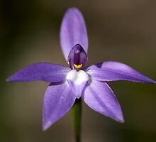 Glossodia Major - Mount Barker Summit by LeeoPhotography