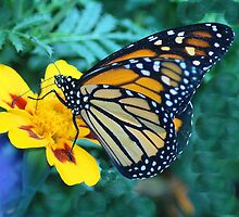 Monarch Munches on Lantana by Dennis Rubin IPA