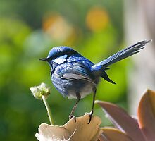 Splendid Wren by inAWE