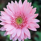 Pale Pink Gerbera by Donna Adamski