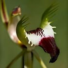 Detail - King Spider Orchid by LeeoPhotography