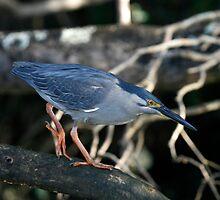 Striated Heron Stalking by Normf