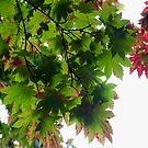 Maple leaf patterns by EileenLangsley