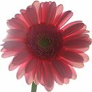 Light and Shadows on a Pink Gerbera by Honor Kyne