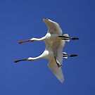 Mother and Child Spoonbill by David Clark