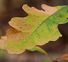 Multi Colored Oak Leaf by Stephen Thomas