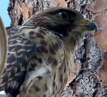 Red tail Hawk in my Yard by stacyshell67