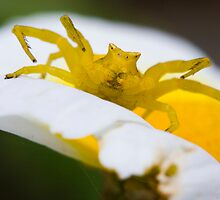 Yellow Crab Spider by André Gonçalves