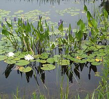 Lillypads by milo1262