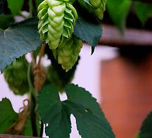 Hops by Pamela Hubbard
