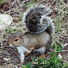 California Grey Squirrel by Laurie Puglia