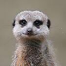 Meerkat Portrait by Jenny Brice