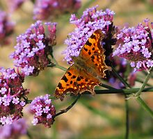 comma butterfly by Caroline Anderson
