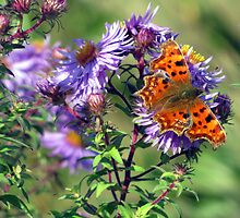 comma on michaelmas daisies by Caroline Anderson