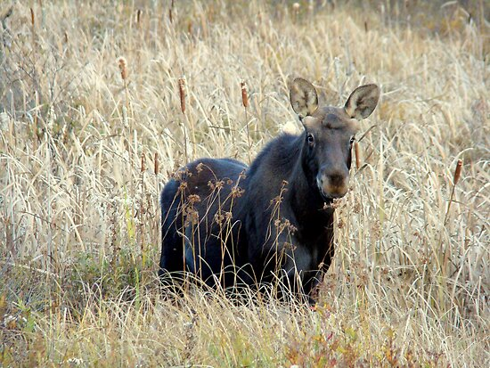 Young bull moose by Gotcha  Photography