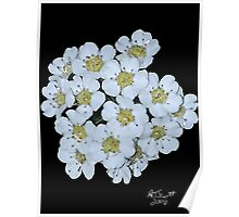 BRADFORD PEAR BLOSSOMS in WATER COLOR Poster
