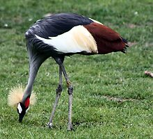 African Crane by Laurie Puglia