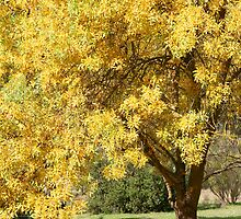 Golden Ash Tree in Autumn by Jenny Brice