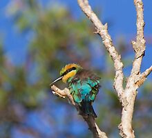Dusk Bee-eater by byronbackyard