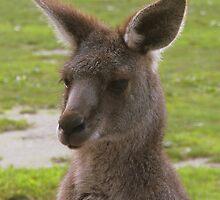 Kangaroo by Robert Jenner