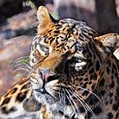 Clouded Leopard by venny