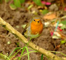 Robin on tree branch by mikeloughlin
