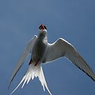 Arctic Tern – Up Close! by Steve Bulford
