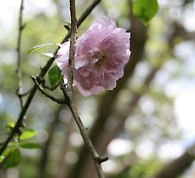 pale pink climbing rose by MoonSend