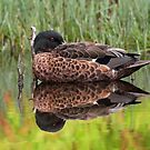 Chestnut Teal reflections by jozi1