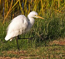Intermediate Egret  by Robert Elliott