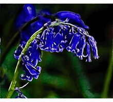 Blubell Photographic Print