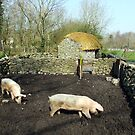 Two pigs in rural Ireland by John Quinn