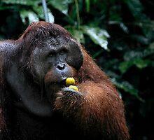 """George"" Large male Orangutan, Borneo  by Carole-Anne"