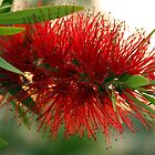 Red Bottlebrush by SMCK