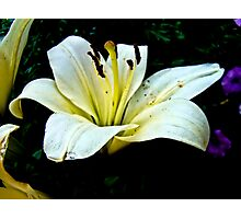 White Lily in the garden 3 Photographic Print