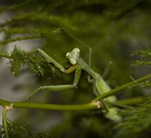 Prey Mantis by Kristian Faul