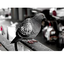 Red eyed market pigeon Photographic Print
