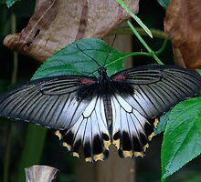 Great Mormon - Papilio memnon by Sharon Perrett
