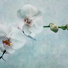 chinese orchid by lucyliu