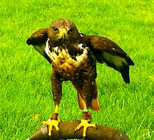 Harris Hawk by Trevor Kersley