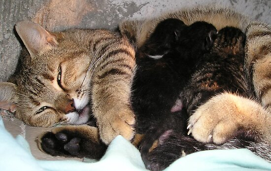 Mother Tabby Cat Suckling Four Newborn Kittens by taiche