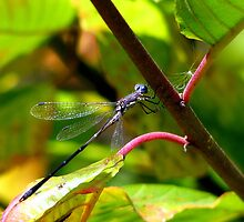 Sweetflag Spreadwing Shows Off His Flags by Chuck Gardner