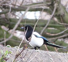 The magpie Who wont fly  by Alexkeane1