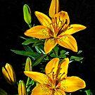 Arizona Lily by George I. Davidson