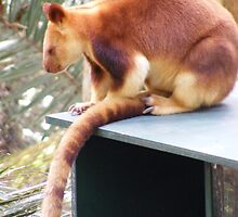 red tree kangaroo, at Currumbin Sanctuary (Australia) by gaylene