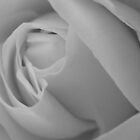 White Rose by CJPhotos