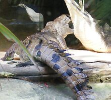 crocodiles...at Currumbin Sanctuary  (Queensland - Aust) by gaylene
