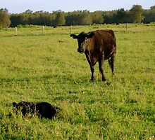 Mums New Baby Calf by reflector