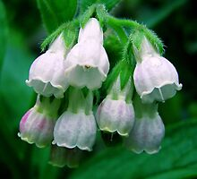 White Bells by JuliaWright